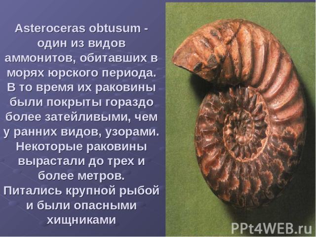 Asteroceras obtusum - один из видов аммонитов, обитавших в морях юрского периода. В то время их раковины были покрыты гораздо более затейливыми, чем у ранних видов, узорами. Некоторые раковины вырастали до трех и более метров. Питались крупной рыбой…