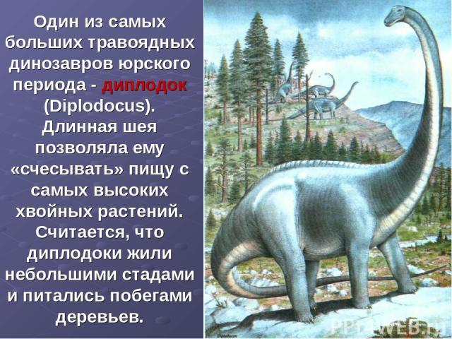 Один из самых больших травоядных динозавров юрского периода - диплодок (Diplodocus). Длинная шея позволяла ему «счесывать» пищу с самых высоких хвойных растений. Считается, что диплодоки жили небольшими стадами и питались побегами деревьев.