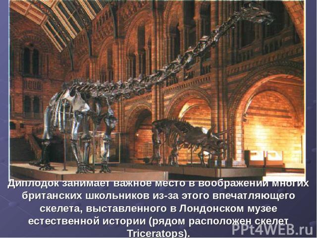 Диплодок занимает важное место в воображении многих британских школьников из-за этого впечатляющего скелета, выставленного в Лондонском музее естественной истории (рядом расположен скелет Triceratops).
