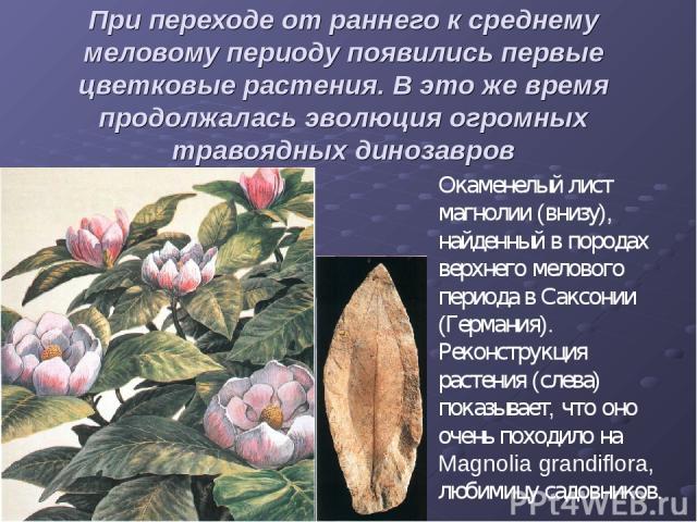 При переходе от раннего к среднему меловому периоду появились первые цветковые растения. В это же время продолжалась эволюция огромных травоядных динозавров Окаменелый лист магнолии (внизу), найденный в породах верхнего мелового периода в Саксонии (…