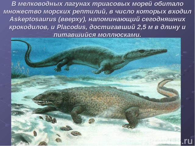 В мелководных лагунах триасовых морей обитало множество морских рептилий, в число которых входил Askeptosaurus (вверху), напоминающий сегодняшних крокодилов, и Placodus, достигавший 2,5 м в длину и питавшийся моллюсками.