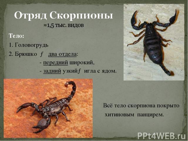 Тело: 1. Головогрудь 2. Брюшко → два отдела: - передний широкий, - задний узкий→ игла с ядом. Всё тело скорпиона покрыто хитиновым панцирем.