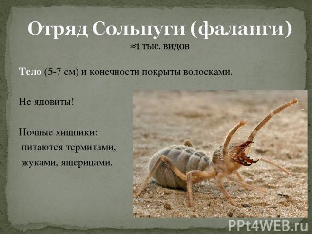 Тело (5-7 см) и конечности покрыты волосками. Не ядовиты! Ночные хищники: питаются термитами, жуками, ящерицами.