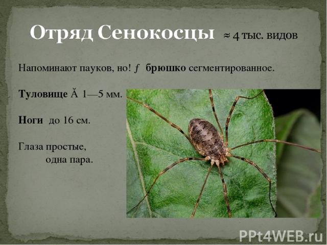 Напоминают пауков, но! → брюшко сегментированное. Туловище ≈ 1—5мм. Ноги до 16см. Глаза простые, одна пара.