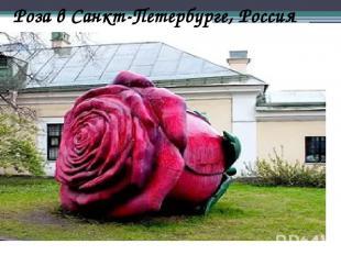 Роза в Санкт-Петербурге, Россия