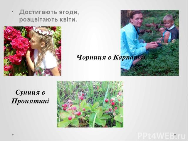 Достигають ягоди, розцвітають квіти. Чорниця в Карпатах Суниця в Пронятині