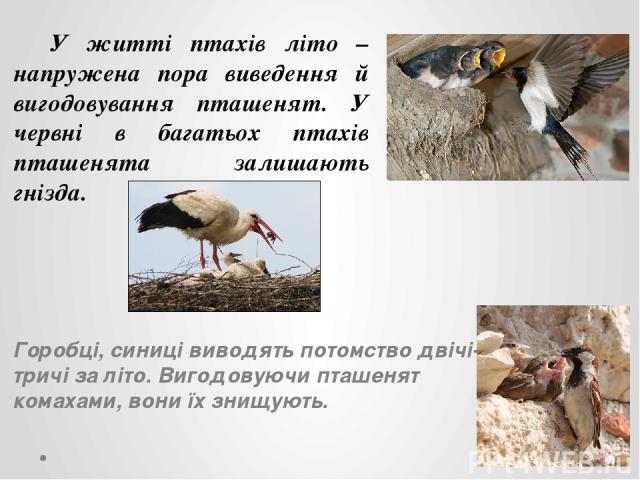 У житті птахів літо – напружена пора виведення й вигодовування пташенят. У червні в багатьох птахів пташенята залишають гнізда. Горобці, синиці виводять потомство двічі-тричі за літо. Вигодовуючи пташенят комахами, вони їх знищують.