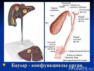 Бауыр - көпфункциялы орган.