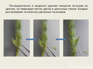 Последовательно и аккуратно удаляют пинцетом пыльники из цветков, не повреждая п