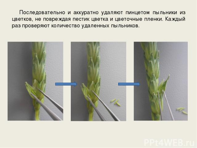 Последовательно и аккуратно удаляют пинцетом пыльники из цветков, не повреждая пестик цветка и цветочные пленки. Каждый раз проверяют количество удаленных пыльников.