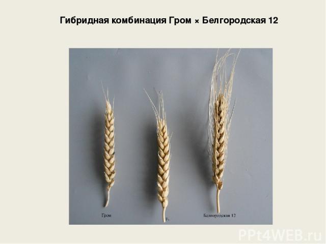 Гибридная комбинация Гром × Белгородская 12
