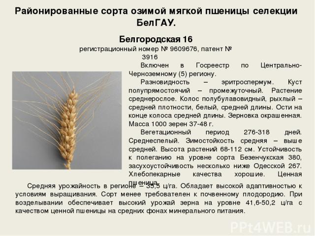 Районированные сорта озимой мягкой пшеницы селекции БелГАУ. Включен в Госреестр по Центрально-Черноземному (5) региону. Разновидность – эритроспермум. Куст полупрямостоячий – промежуточный. Растение среднерослое. Колос полубулавовидный, рыхлый – сре…