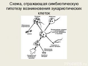 Схема, отражающая симбиотическую гипотезу возникновения эукариотических клеток