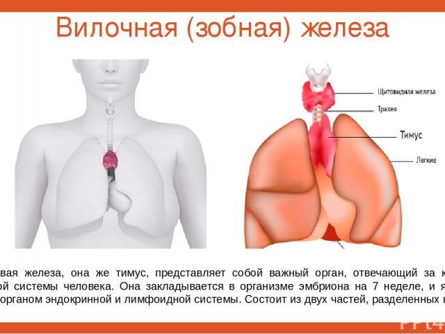 Вилочная (зобная) железа Вилочковая железа, она же тимус, представляет собой важный орган, отвечающий за качество иммунной системы человека. Она закладывается в организме эмбриона на 7 неделе, и является первым органом эндокринной и лимфоидной систе…