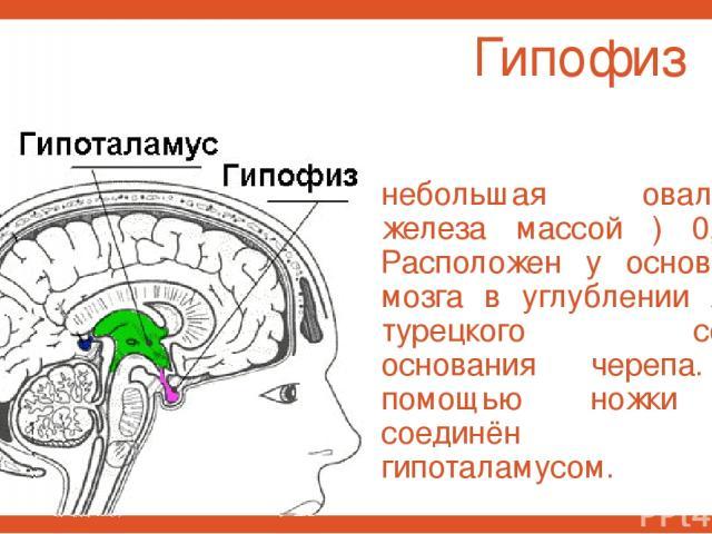 Гипофиз небольшая овальная железа массой ) 0,7 г. Расположен у основания мозга в углублении ямки турецкого седла основания черепа. С помощью ножки он соединён с гипоталамусом.
