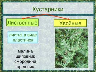 Кустарники Лиственные Хвойные листья в виде пластинок листья в виде хвоинок мали