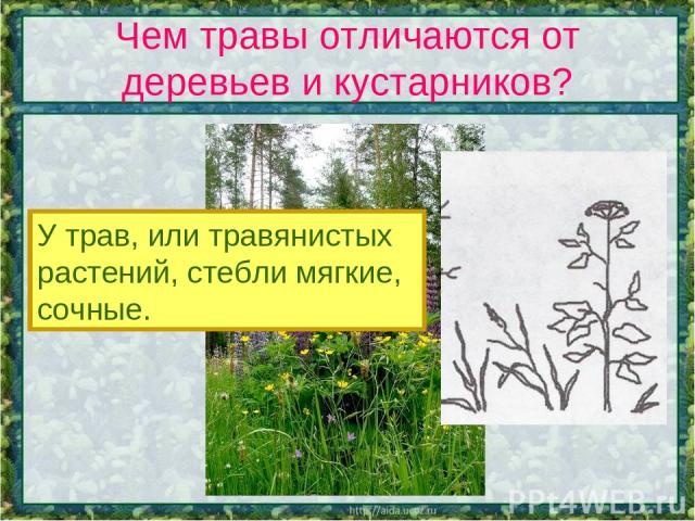 Чем травы отличаются от деревьев и кустарников? У трав, или травянистых растений, стебли мягкие, сочные.