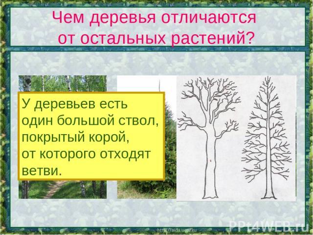 Чем деревья отличаются от остальных растений? У деревьев есть один большой ствол, покрытый корой, от которого отходят ветви.