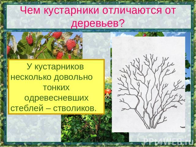 Чем кустарники отличаются от деревьев? У кустарников несколько довольно тонких одревесневших стеблей – стволиков.