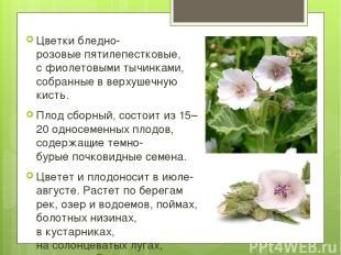 Цветкибледно-розовыепятилепестковые, сфиолетовыми тычинками, собранные вверх