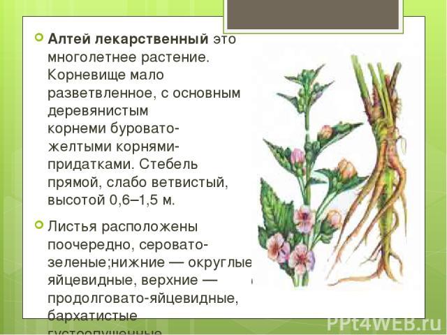 Алтей лекарственный это многолетнее растение. Корневище мало разветвленное, сосновным деревянистым корнемибуровато-желтымикорнями-придатками. Стебель прямой, слабо ветвистый, высотой0,6–1,5м. Листья расположены поочередно,серовато-зеленые;нижн…