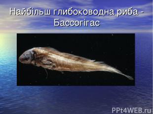 Найбільш глибоководна риба - Бассогігас