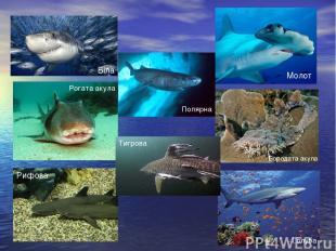 Біла Молот Рифова Голуба Бородата акула Рогата акула Тигрова Полярна
