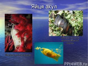 Яйця акул