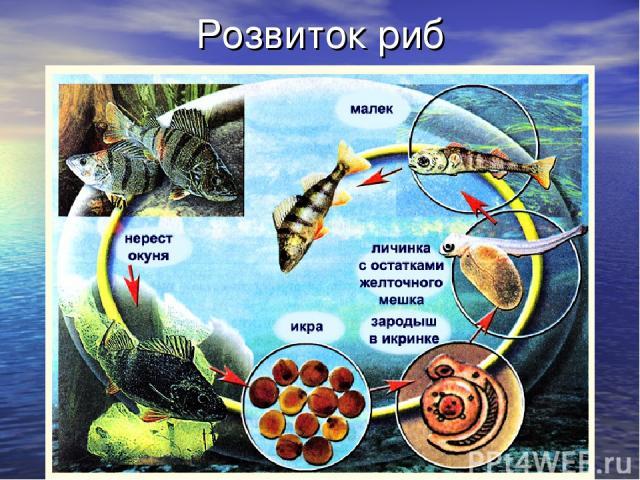 Розвиток риб