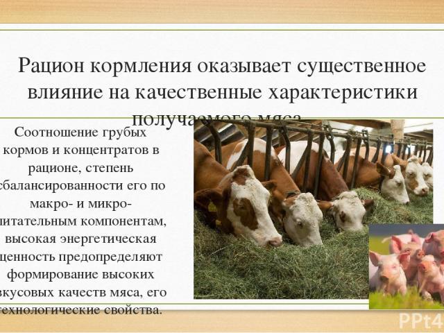 Рацион кормления оказывает существенное влияние на качественные характеристики получаемого мяса. Соотношение грубых кормов и концентратов в рационе, степень сбалансированности его по макро- и микро- питательным компонентам, высокая энергетическая це…