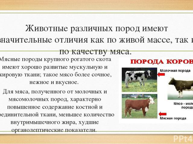 Животные различных пород имеют значительные отличия как по живой массе, так и по качеству мяса. Мясные породы крупного рогатого скота имеют хорошо развитые мускульную и жировую ткани; такое мясо более сочное, нежное и вкусное. Для мяса, полученного …