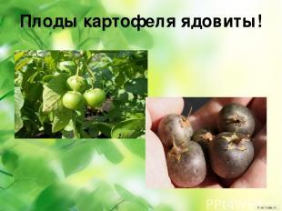 Плоды картофеля ядовиты!