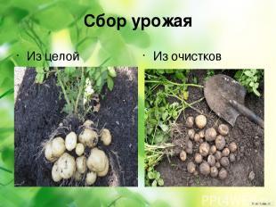 Сбор урожая Из целой картошки Из очистков