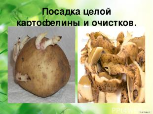 Посадка целой картофелины и очистков.