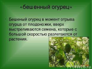 «бешенный огурец» Бешеный огурец в момент отрыва огурца от плодоножки, вверх выс