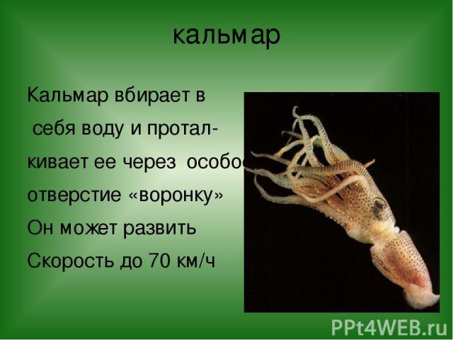 кальмар Кальмар вбирает в себя воду и протал- кивает ее через особое отверстие «воронку» Он может развить Скорость до 70 км/ч