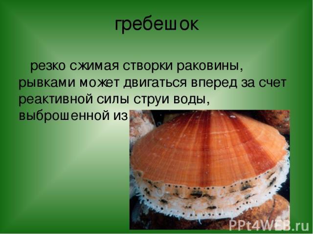гребешок резко сжимая створки раковины, рывками может двигаться вперед за счет реактивной силы струи воды, выброшенной из раковины.