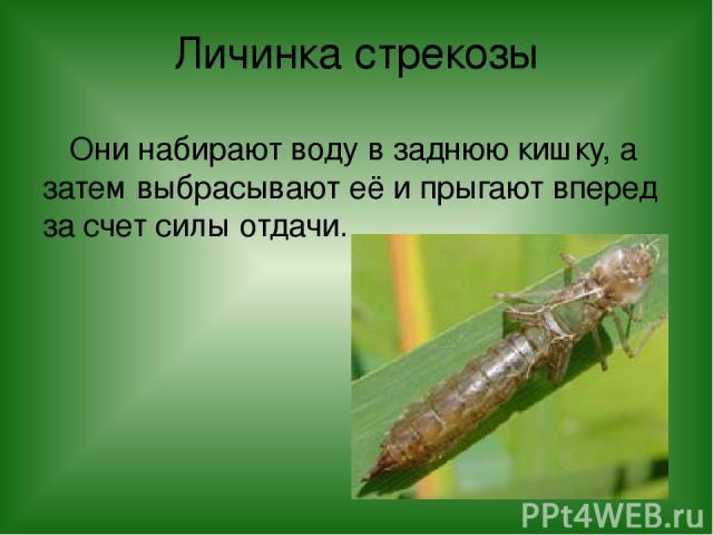 Личинка стрекозы Они набирают воду в заднюю кишку, а затем выбрасывают её и прыгают вперед за счет силы отдачи.