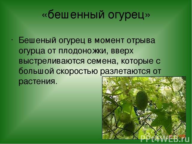 «бешенный огурец» Бешеный огурец в момент отрыва огурца от плодоножки, вверх выстреливаются семена, которые с большой скоростью разлетаются от растения.
