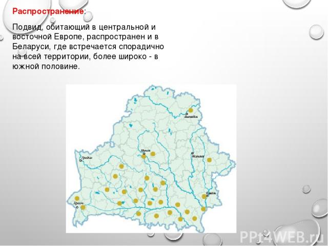 Распространение: Подвид, обитающий в центральной и восточной Европе, распространен и в Беларуси, где встречается спорадично на всей территории, более широко - в южной половине.