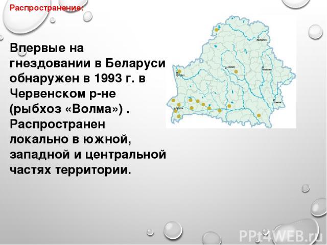Распространение: Впервые на гнездовании в Беларуси обнаружен в 1993 г. в Червенском р-не (рыбхоз «Волма») . Распространен локально в южной, западной и центральной частях территории.
