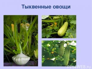 Тыквенные овощи