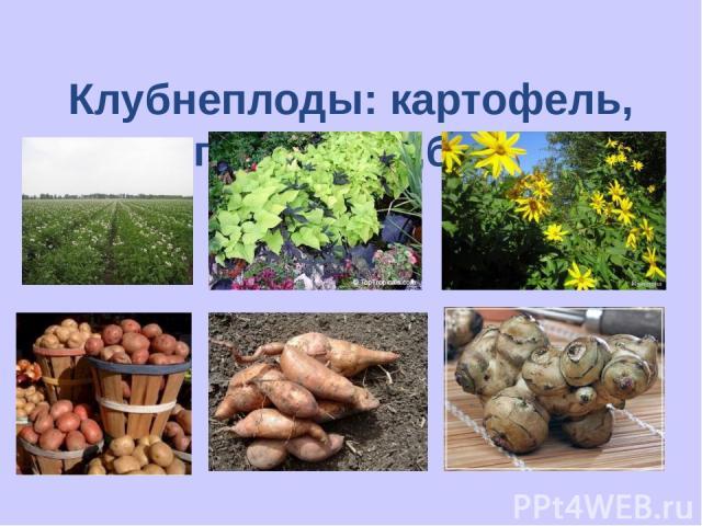 Клубнеплоды: картофель, топинамбур ,батат;