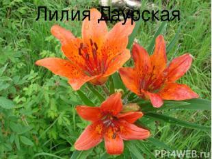 Лилия Даурская