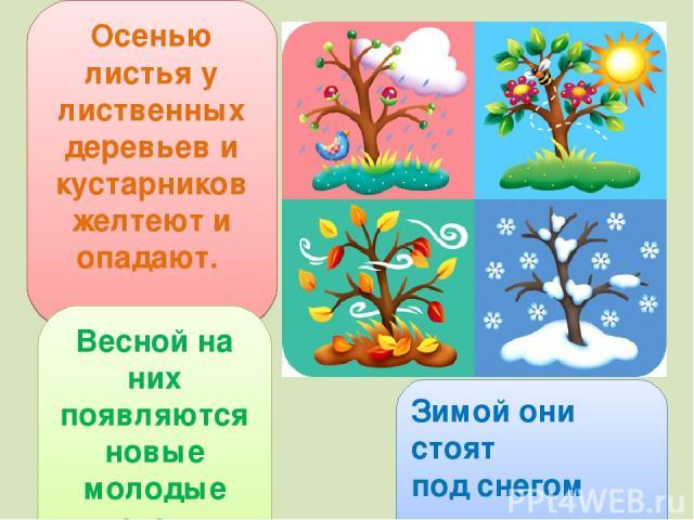 Осенью листья у лиственных деревьев и кустарников желтеют и опадают. Зимой они стоят под снегом Весной на них появляются новые молодые листочки.