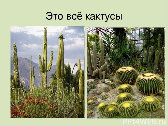 Это всё кактусы