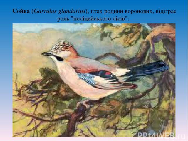 Сойка (Garrulus glandarius), птах родини воронових, відіграє роль