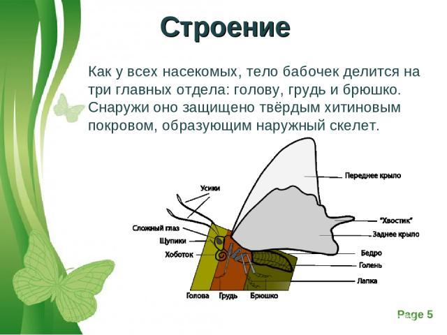 Как у всех насекомых, тело бабочек делится на три главных отдела: голову, грудь и брюшко. Снаружи оно защищено твёрдым хитиновым покровом, образующим наружный скелет. Строение Free Powerpoint Templates Page *