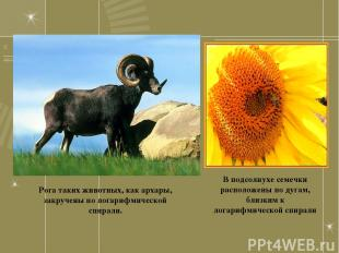 Рога таких животных, как архары, закручены по логарифмической спирали. В подсолн
