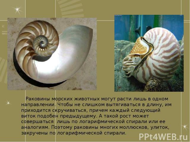 Раковины морских животных могут расти лишь в одном направлении. Чтобы не слишком вытягиваться в длину, им приходится скручиваться, причем каждый следующий виток подобен предыдущему. А такой рост может совершаться лишь по логарифмической спирали или …